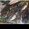 Фугу: опасная рыбка