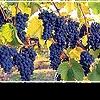 Пять сортов вин, о которых следует знать